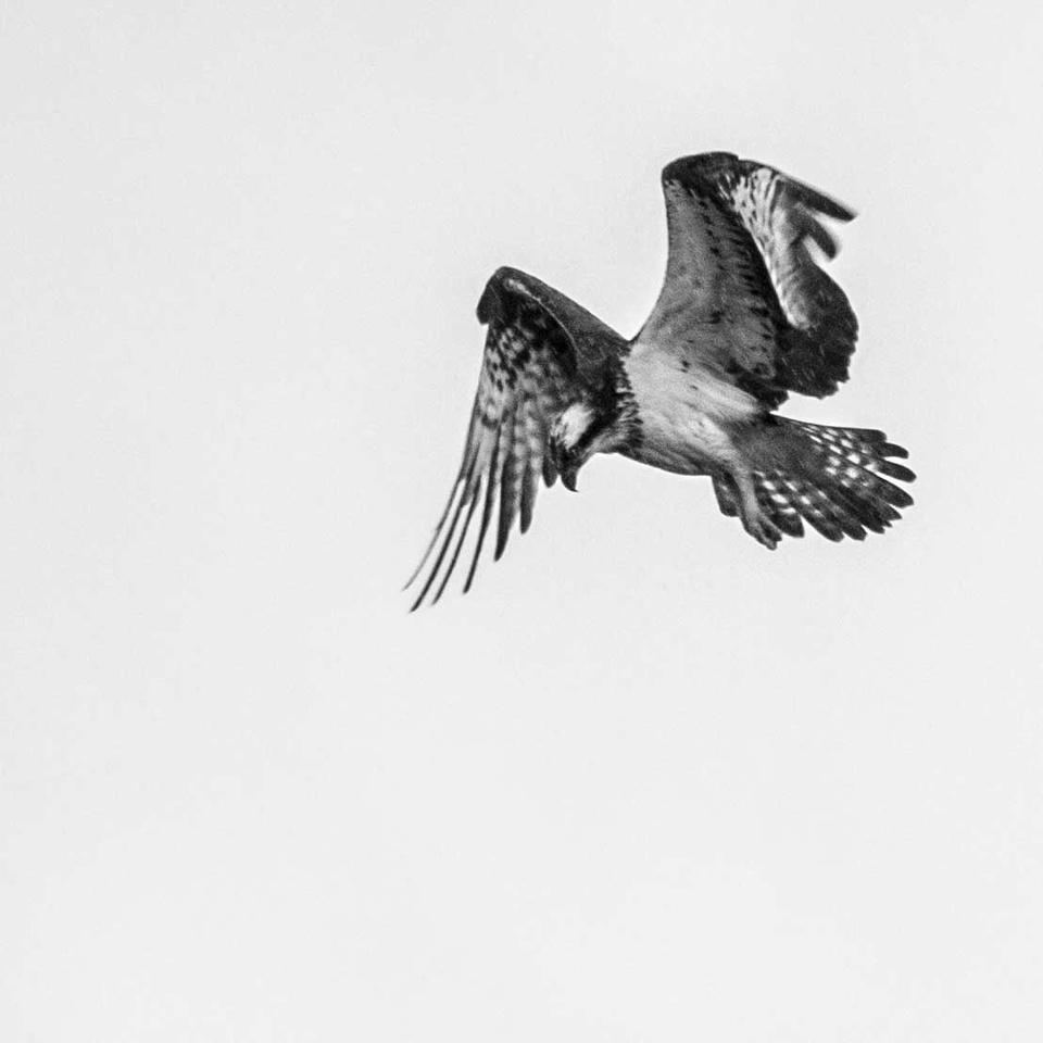 Titchfield Haven Osprey
