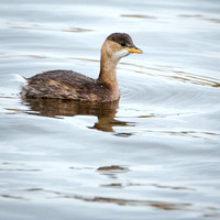 Little Grebe (winter)