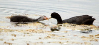 Coot and Cootling