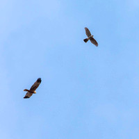 Fly by with Marsh Harrier