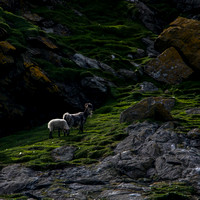 Boreray Sheep