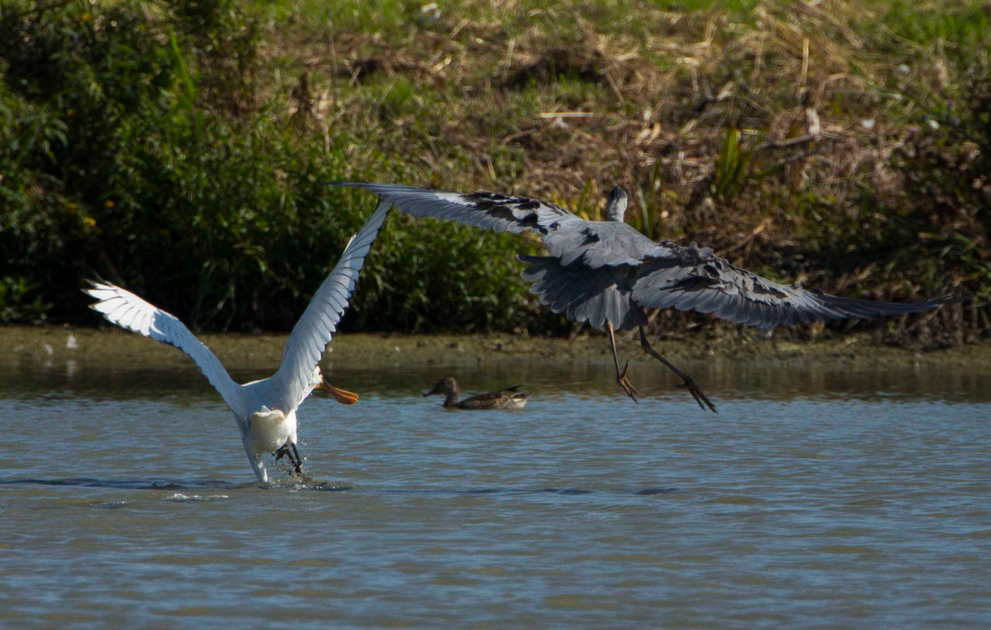Chased by Heron