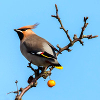 Hampshire Waxwing